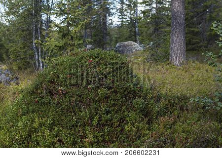 Closeup view of an anthill covered by lingonberry and crowberry. Trees and forest in the background.