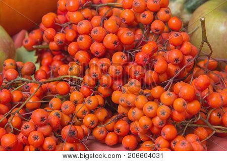 Several bunches of red and ripe berries of mountain ash