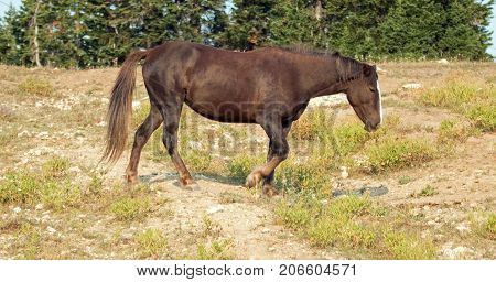 Chestnut Bay Wild Horse Stallion In The Pryor Mountains Wild Horse Range In Montana United States