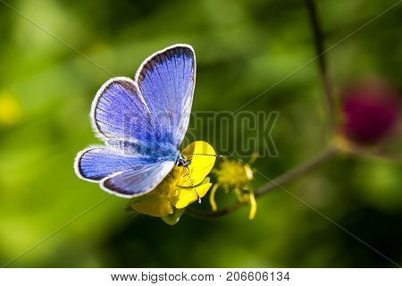Common Blue butterfly - polyommatus icarus at flower