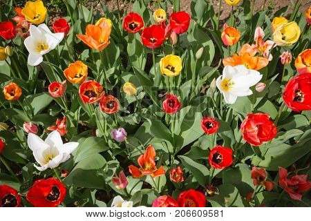 Tulip. Beautiful Field Garden Of Tulips. Colorful Tulips. Tulips In Spring,colourful Tulip Different