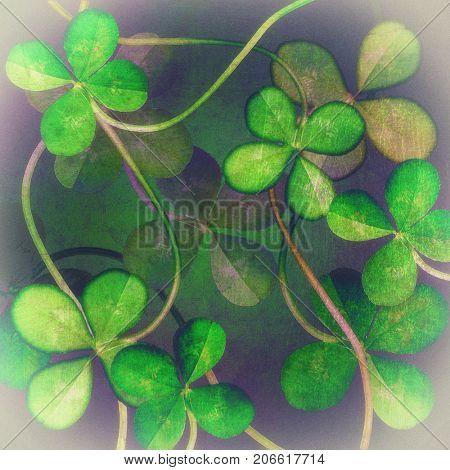 Four Leaf Clover.green clover background