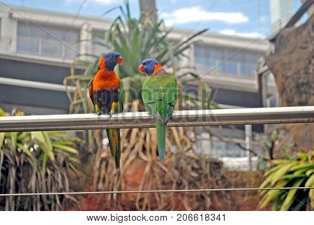 Green lorikeets with a blue head and orange beak sitting on a rack bird in the nature habitat Australia