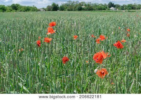 Wild poppies growing in the wheat field in a village