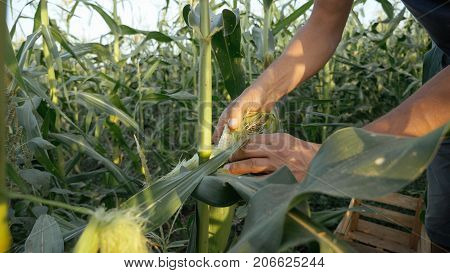 Young farmer checking progress of corn cobs growth on the field of organic eco farm. Man checking corn cob for ripe and pests. Real working prosess at eco farmland.