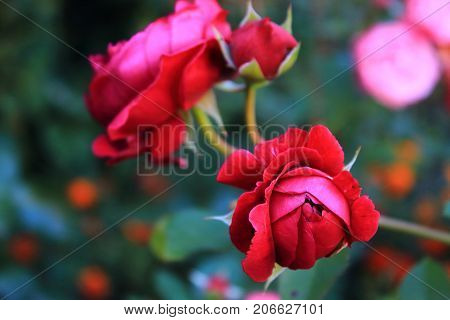 Red Roses on the dark green background with bokeh. Beautiful red roses for the calendar. Bouquet of small red roses. Dark red roses on the bushes. Landscaping. Care of garden roses shrubs. Wallpaper for desktop, foto for calendar