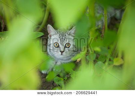 Beautiful domestic little kitten hiding in the grass.