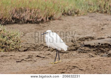 A little egret Egretta garzetta at the lagoon in Walvis Bay in the Namib Desert on the Atlantic Coast of Namibia