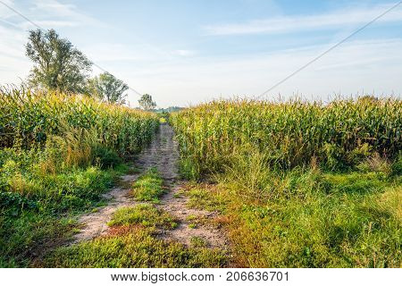 Fields with ripening fodder maize. A narrow path is in between. It is an early morning of a sunny day in the beginning of the fall season.