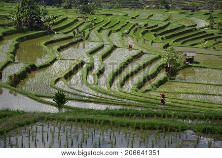 The amazing landscape in Jatiluwih rice terraces in Bali, Indonesia