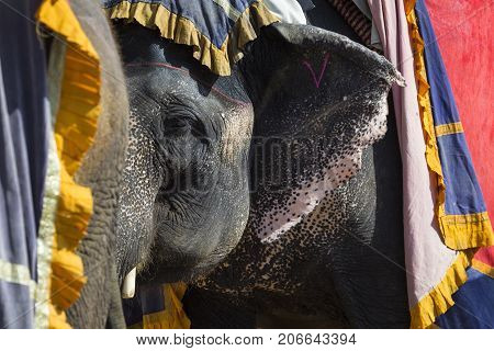 Decorated Elephants In Jaleb Chowk In Amber Fort In Jaipur, India.