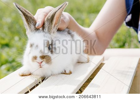 A small rabbit home a black and white suit a bunny eating a green grass a pet in a wooden box. The girl keeps the rabbit in her arms.