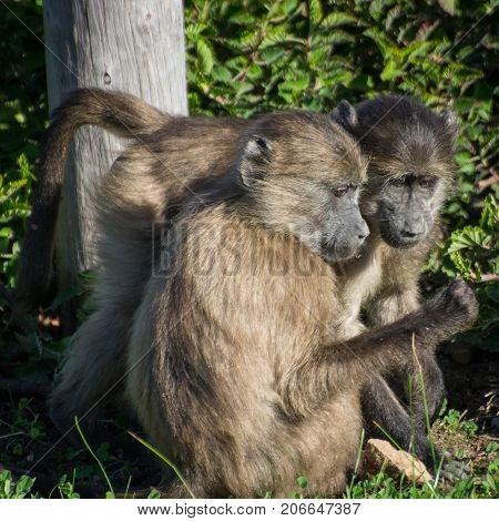 Chacma Baboons investigate an object in the Silvermine Nature Reserve, South Africa.