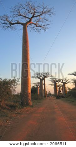 Baobabs Forest, Baobab Alley, Madagascar