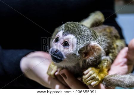 Little monkey sitting on the arms of the man
