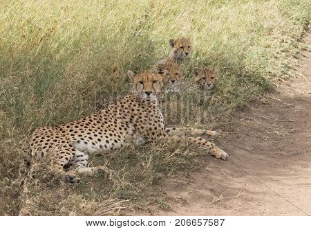 Mother Cheetah with her cubs resting in a shadow of a tree