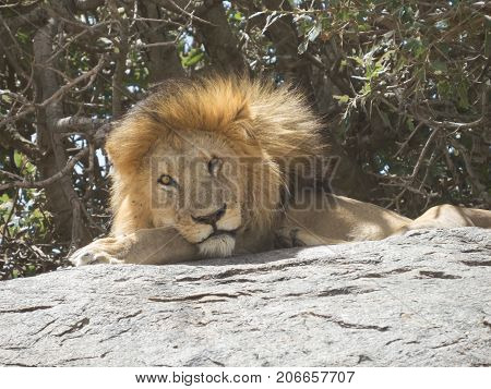 The king of jungle on a stone throne in Serengeti national park