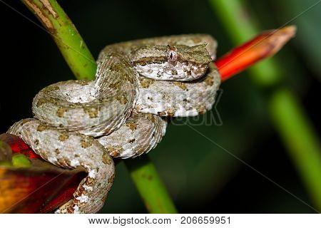Eyelash Viper - Bothriechis Schlegelii