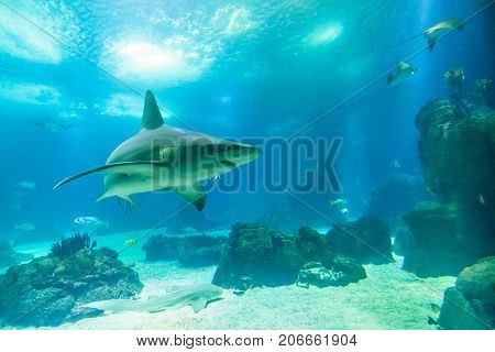 Undersea background with copy space. Front view of white shark swimming under blue ocean. Undersea marine life.