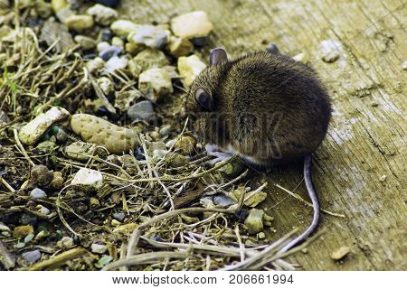 Wild vote / field mouse in the British park