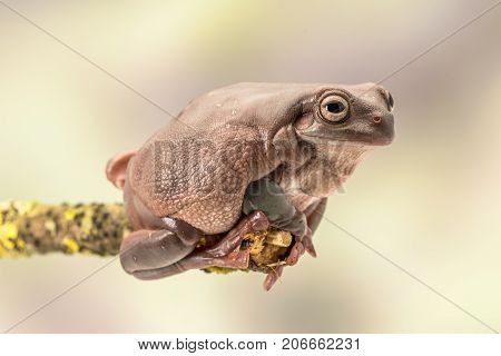 White's tree frog.  Also known as the dumpy frog and Australian green tree frog, Litoria caerulea. Sitting on a single branch. Room for copy