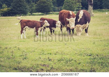 family Cows close to Lacock village Wiltshire England UK
