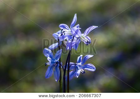 Scilla flower blue spring forest close up background