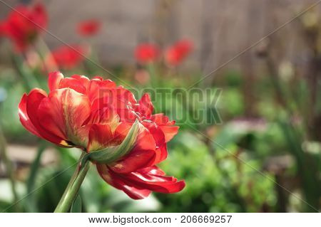 Terry tulip flower red spring flowerbed close up