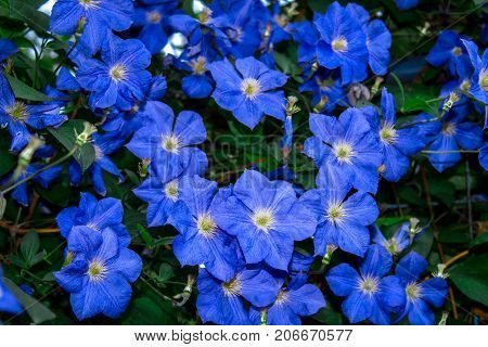 Clematis flower blue green summer flowerbed background