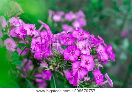 Phlox flower pink purple summer flowerbed background