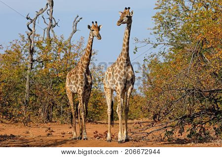 Giraffes (Giraffa camelopardalis) in natural habitat, Kruger National Park, South Africa