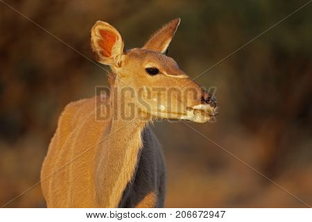 Portrait of a female kudu antelope (Tragelaphus strepsiceros), South Africa
