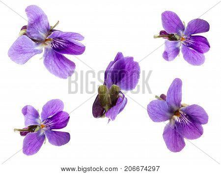Violet viola flower isolated set on white background purple