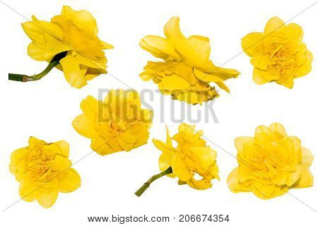 Terry Yellow Narcissus flower isolated set on white background