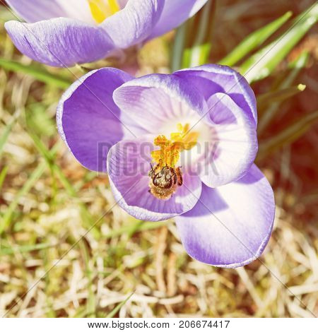 Honey bee - Apis mellifera pollinate Crocus heuffelianus flower. Spring time scene. Yellow photo filter.