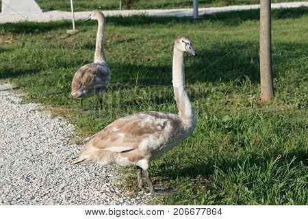 swans in the ornithological Park of Sochi, Krasnodar region
