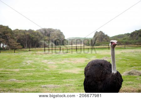 Ostrich at farm in south africa large flightless bird looking staring at camera