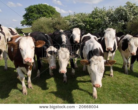 a herd of cattle in field on farmland in the countryside poster
