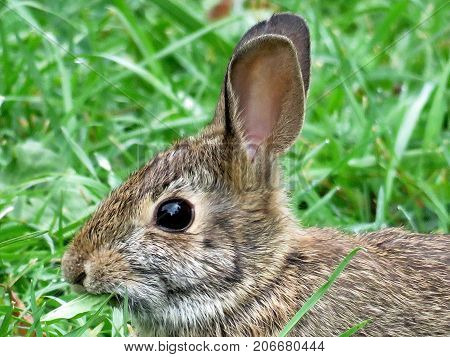 Portrait of the eastern cottontail rabbit in forest of Thornhill Canada September 29 2017