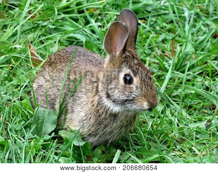 The eastern cottontail rabbit in forest of Thornhill Canada September 29 2017