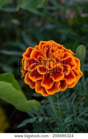 Just as the name implies the marigold is a beautiful golden and orange combination that enhances any flower garden. The photographer capture a bokeh effect for flower clarity.