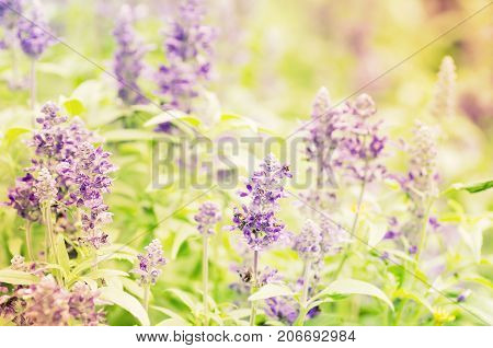Blue Salvia flower blossom and decoration in a garden