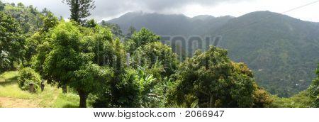 Mango Trees: Jamaica