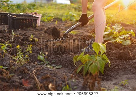 Harvesting the farmer an agriculture - the man digs the earth gathering potato