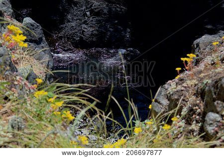 Looking down into a surge chanel on the coast of East Sooke Park with wild flowers in the cleft of the cliff in the foreground and the swirling sea below.