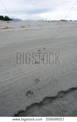 Fresh wolf tracks meander along a gray sandy beach on the Brookes Peninsula Vancouver Island on a cloudy July day.