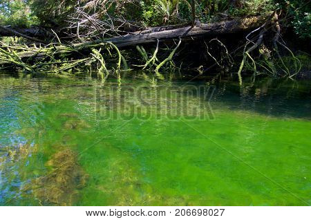 A fallen cedar lies at the edge of an algae filled river near the Brookes Peninsula Vancouver Island. The algae is emerald green.