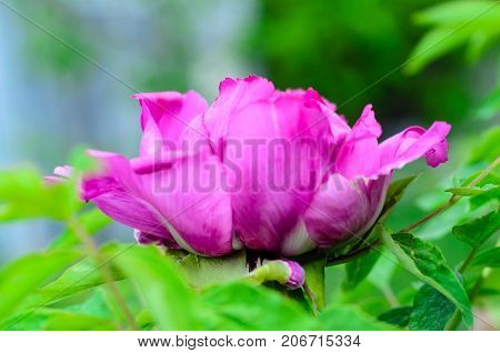 Tree Peony Blossoming In Garden