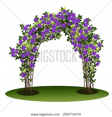 arch with bush clematis and green leaves on white background
