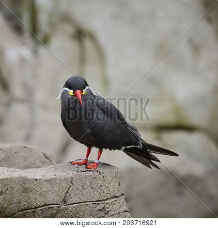 Portrait Of Ringed Inca Tern Birds On Rocks In Natural Habitat Environment